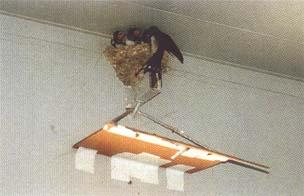 巣 作る が 家 を ツバメ